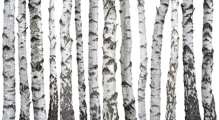 Birch trunks isolated on white background Banque d'images