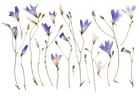 pressed: Pressed wild flowers isolated on white background