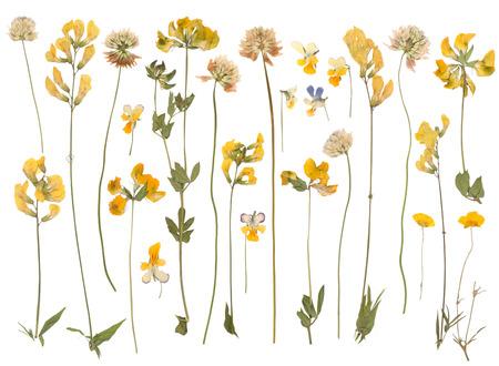 Geperst wilde bloemen geïsoleerd op witte achtergrond Stockfoto - 32750819
