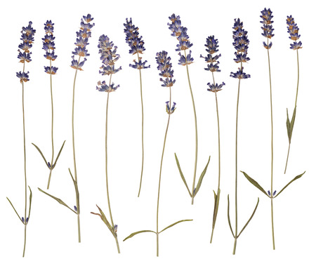 pressed: Dry pressed lavender isolated on white background