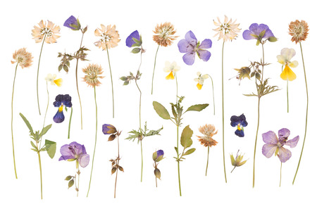 pressed: Dry pressed wild flowers isolated on white background