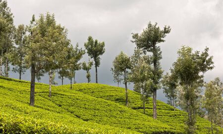 Highlands tea plantations, Sri Lanka Stock Photo