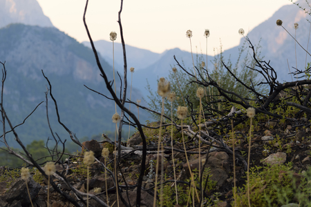 Vegetation on the slopes of the mountains. And the bush branches burned after the fire. Turkey Kemer.