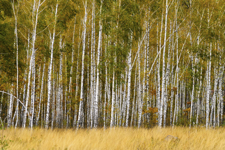 Autumn landscape. Birch grove with grass in the foreground. Stock Photo