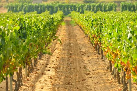 young vinyards in spain