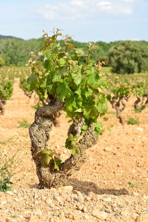 old vineyard in spain