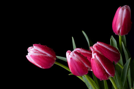 Pink and white tulips on a black background photo