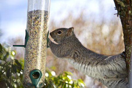 Grey squirrel eating food for birds from the feeder Stok Fotoğraf