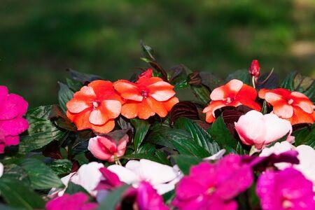 impatiens: Blooming flowers in the garden