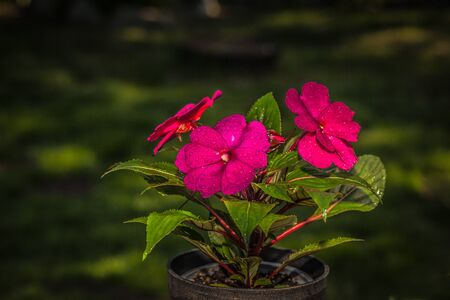 impatiens: Blooming impatiens flores Foto de archivo