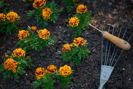 garden marigold: Marigold flowers in garden Stock Photo