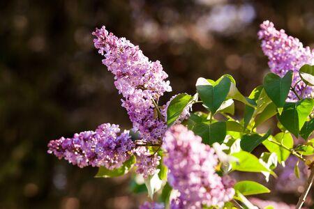 Ramo de flores lila Foto de archivo - 36111470