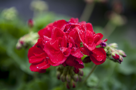 geranium: Red garden geranium flowers. Stock Photo