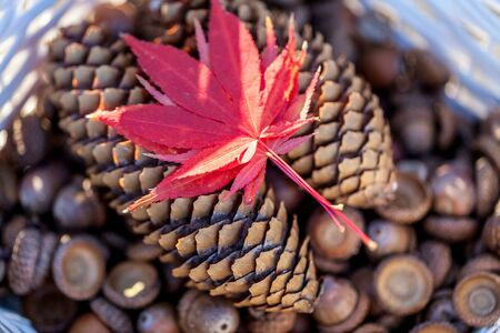 Brown pine cones, acorns and autumn oak leaves in a white basket selective focus