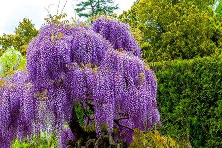 Blooming wisteria in garden, purple color Stok Fotoğraf