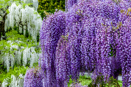 Blooming wisteria in garden, white and purple color