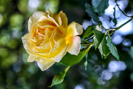 One yellow rose in the garden, green leaves in the background