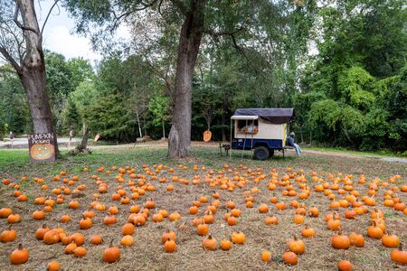 Ripe pumpkins lie on the field ready for harvest