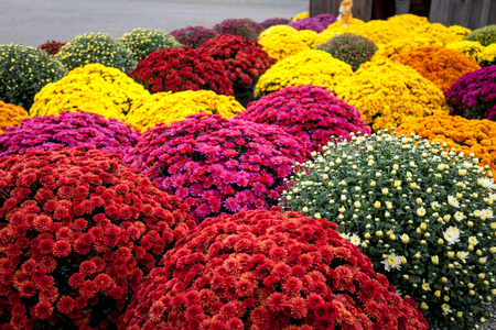 Multicolored mums, autumn beautiful flowers in exceptional time, full bloom Standard-Bild