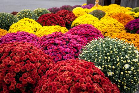 Wielokolorowe mamusie, jesienne piękne kwiaty w wyjątkowym czasie, pełny rozkwit