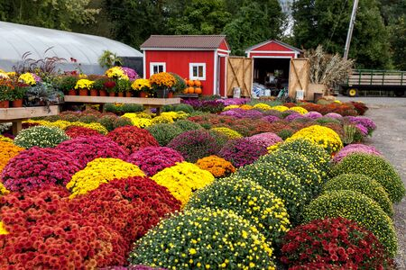 Multicolored mums, autumn beautiful flowers in exceptional time, full bloom Stok Fotoğraf
