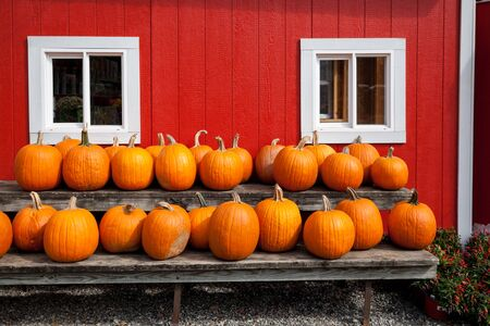 Ripe pumpkins in a row, wall of the country farm in the background.