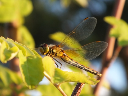 brownish: A brownish dragonfly in the sunset light
