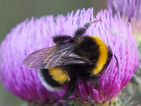 florescence: A bumblebee on a thistle florescence