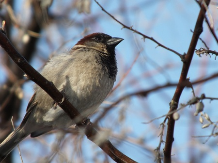 sidelit: A sparrow on a bare branch side-lit Stock Photo