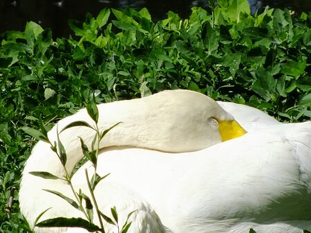 A swan is sleeping on the grass photo