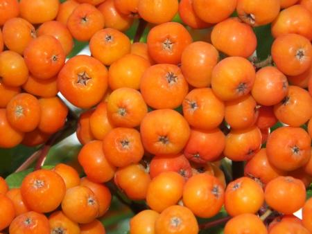 guelderrose: Guelder-rose fruit as background