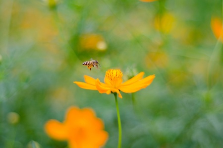 Cosmos with bee photo
