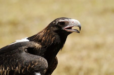 Hungry wedge-tailed eagle
