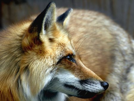 Hungry Red fox Banque d'images