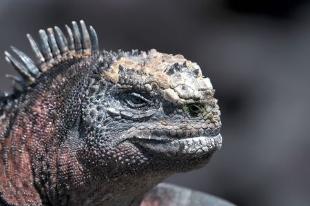 Head of a Galapagos iguana photo