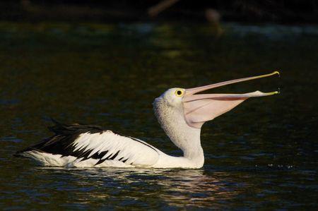 pelecanidae: Fishing Pelican