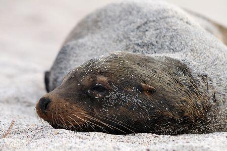 dreaming Galapagos sea lion
