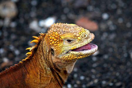 Head of a Galapagos land Iguana  Banco de Imagens