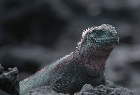 Galapagos marine iguana photo