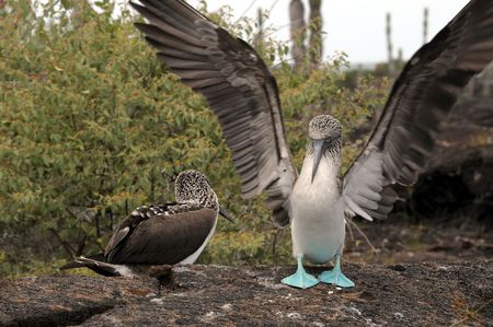 booby: Pride Galapagos blue-footed booby Stock Photo
