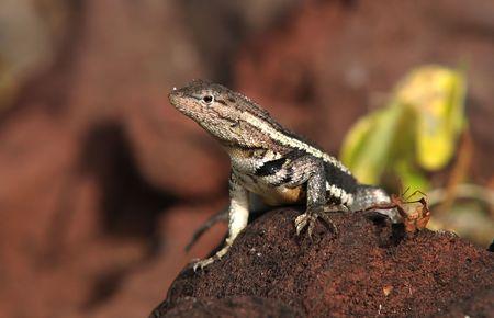Galapagos lizard Stock Photo - 7105384