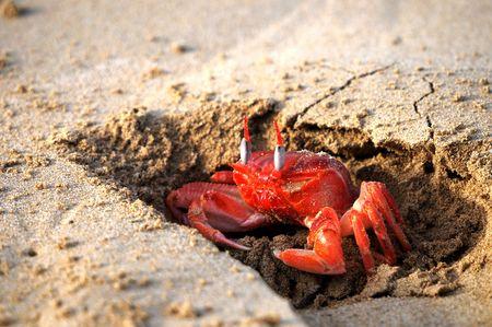 Galapagos red rockcrabs
