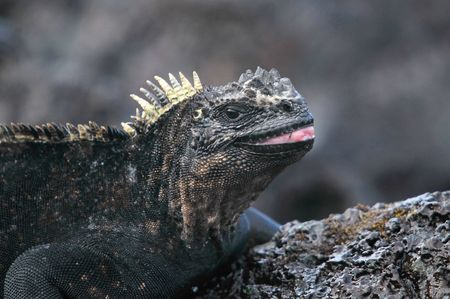 Hungry Galapagos marine iguana photo