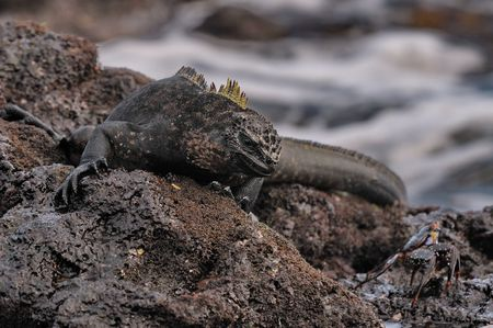 Smart Galapagos marine iguana photo