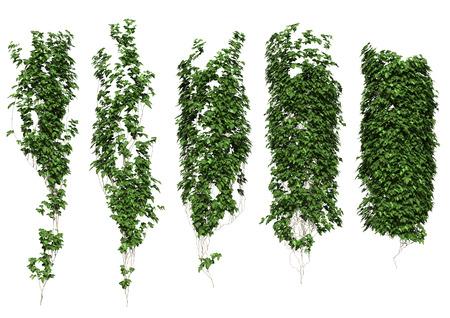 crecimiento planta: Ivy deja aislada sobre un fondo blanco. Foto de archivo