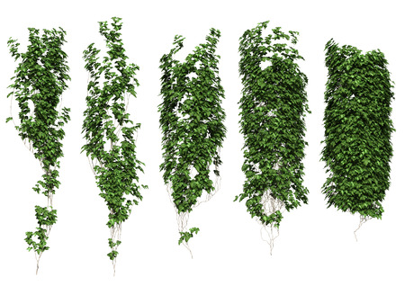 creepers: Ivy leaves isolated on a white background. Stock Photo