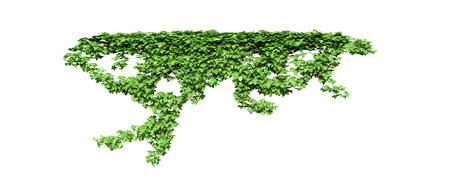 Green ivy plant isolated.