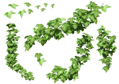 stijger: Ivy bladeren geïsoleerd op een witte achtergrond. Stockfoto