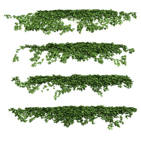 plant growing: Ivy leaves isolated on a white background. Stock Photo