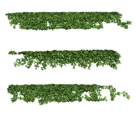 Ivy Blätter isoliert auf einem weißen Hintergrund. Standard-Bild